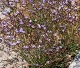 Limonium cornarianum