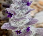 Ajuga orientalis subsp orientalis