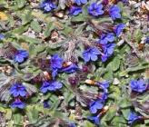 Alkanna tinctoria subsp anatolica