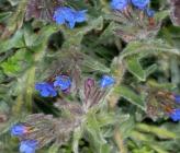 Alkanna tinctoria subsp tinctoria