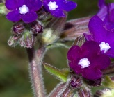 Anchusa officinalis subsp intacta