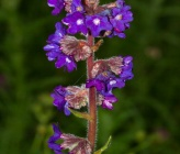 Anchusa officinalis subsp officinalis