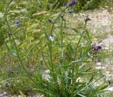Anchusa procera
