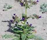 Anchusa undulata subsp hybrida
