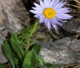Aster alpinus subsp cylleneus