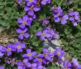 Aubrieta scardica