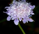 Cephalaria transylvanica