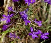 Consolida regalis subsp paniculata