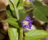 Convolvulus siculus subsp siculus