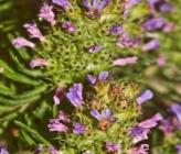 Coris monspeliensis subsp monspeliensis