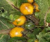 Mandragora officinarum - καρποί