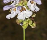 Salvia pomifera subsp calycina