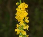 Agrimonia eupatoria subsp eupatoria