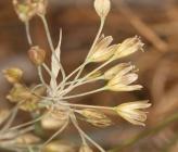 Allium frigidum