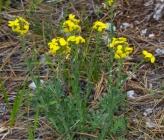Alyssoides utriculata subsp utriculata