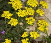 Alyssum montanum subsp montanum