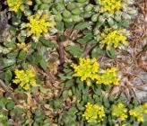 Alyssum umbellatum