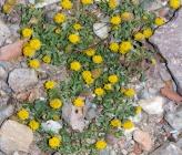 Anthemis rigida subsp rigida