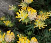 Anthyllis vulneraria subsp bulgarica