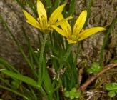 Gagea peduncularis