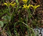 Gagea pseudopeduncularis