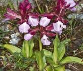 Anacamptis papilionacea subsp aegaea