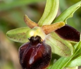 Ophrys cretensis