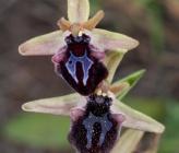 Ophrys doerfleri