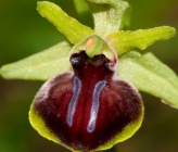 Ophrys epirotica