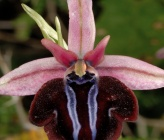 Ophrys grigoriana