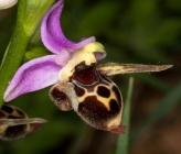 Ophrys oestifera var bicornis