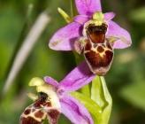 Ophrys orphanidea