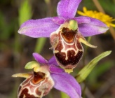 Ophrys oestifera