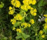Euphorbia agraria