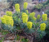 Euphorbia characias subsp wulfenii