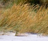 Ammophila arenaria subsp arundinacea