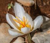 Crocus cancellatus subsp mazziaricus