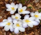Crocus goulimyi subsp goulimyi var leucanthus