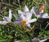 Crocus turenfortii