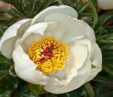 Paeonia clusii subsp clusii