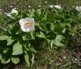 Paeonia mascula subsp hellenica