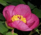 Paeonia mascula subsp mascula