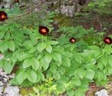 Paeonia parnassica