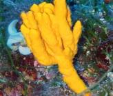 Axinella verrucosa