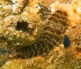 Harmothoe areolata