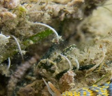 Serpulidae sp South Evoikos