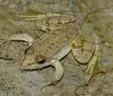 Βαλκανοβάτραχος - νεαρό