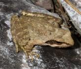 Γραικοβάτραχος - νεαρό