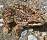 Ευρωπαϊκός βάτραχος