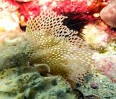 Reteporella couchii